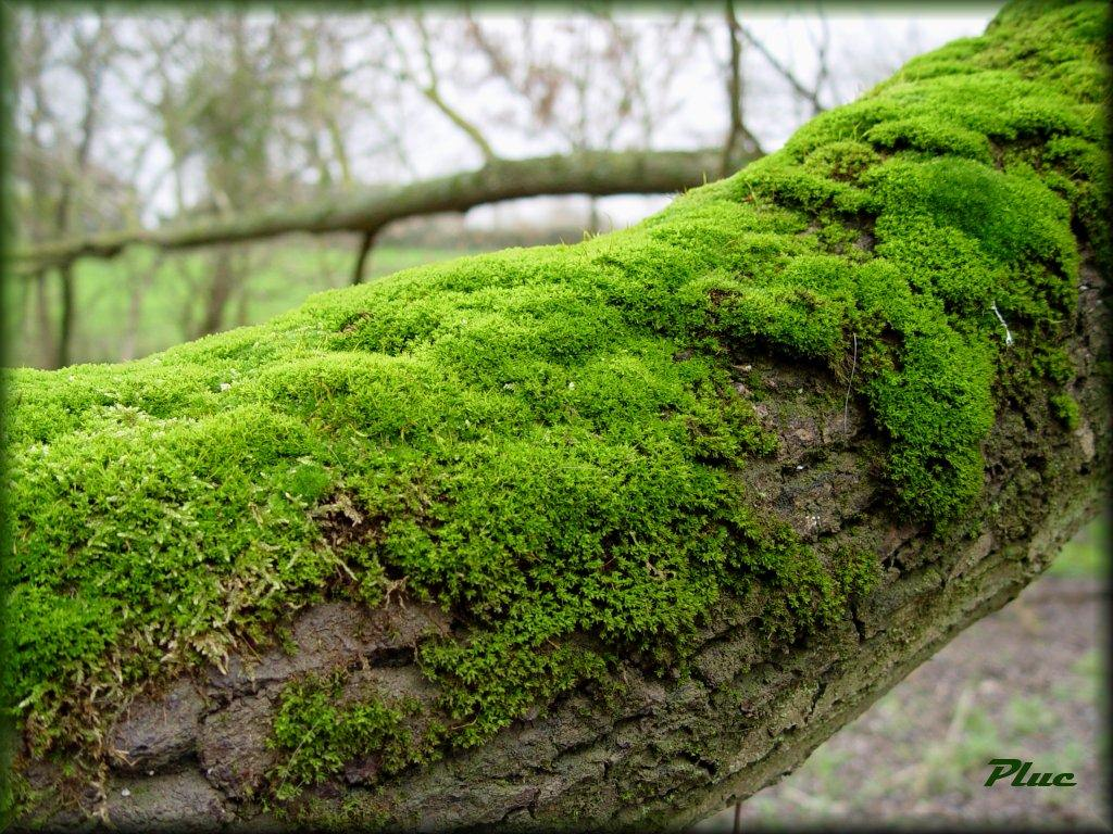 Fonds d 39 cran sable de loire mousses et lichens - Mousse sur les arbres ...