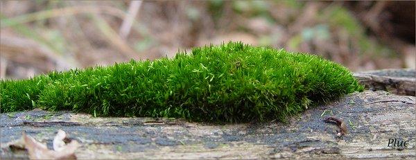 Mousses des arbres - Mousse dans les urines ...